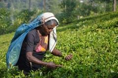 Сбор чая на Шри-Ланке